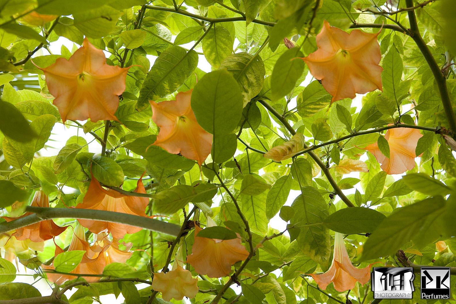 Brugmansia Arborea - PK Perfumes