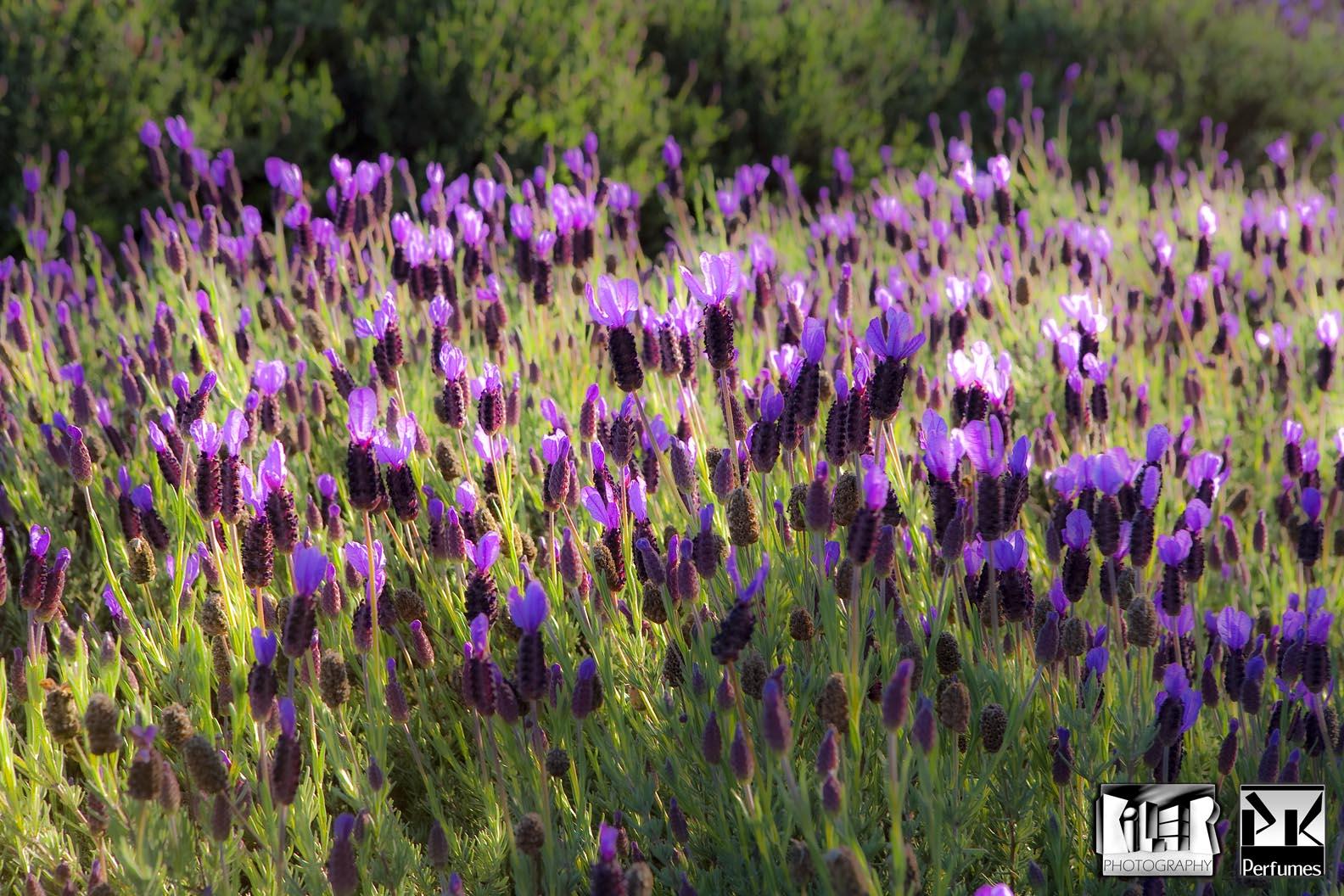 Lavender 1 - PK Perfumes