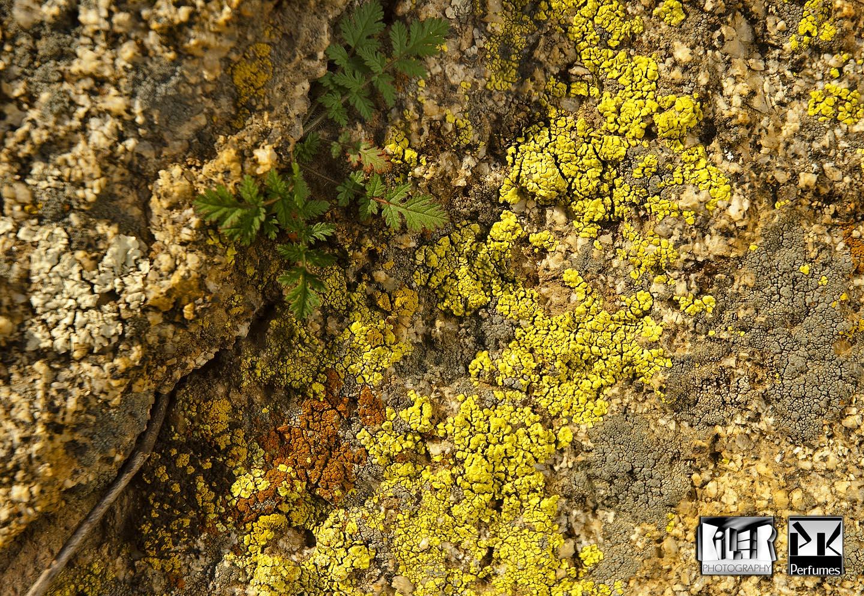 Lichen on rock - PK Perfumes