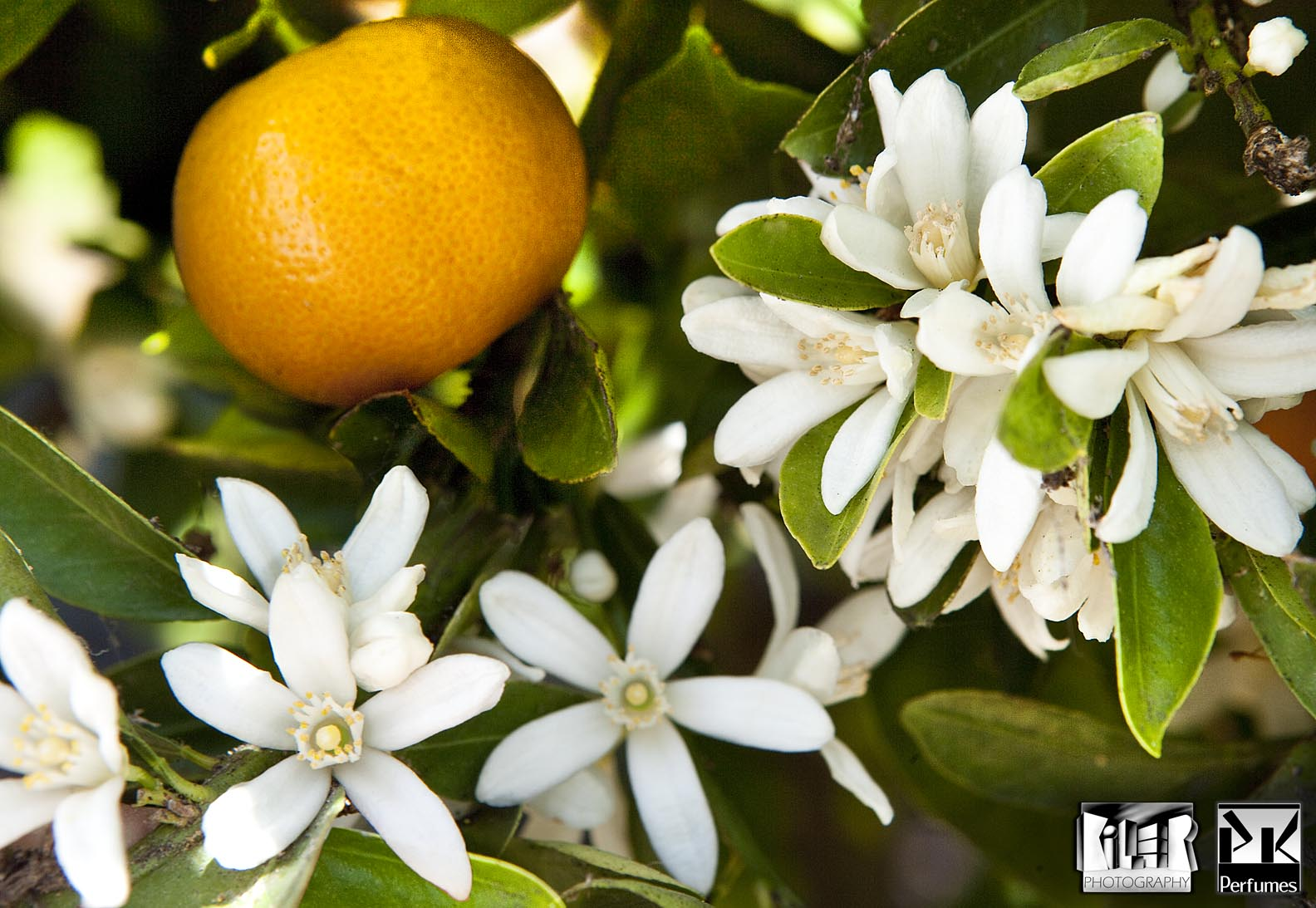 Orangeblossom 14 - PK Perfumes