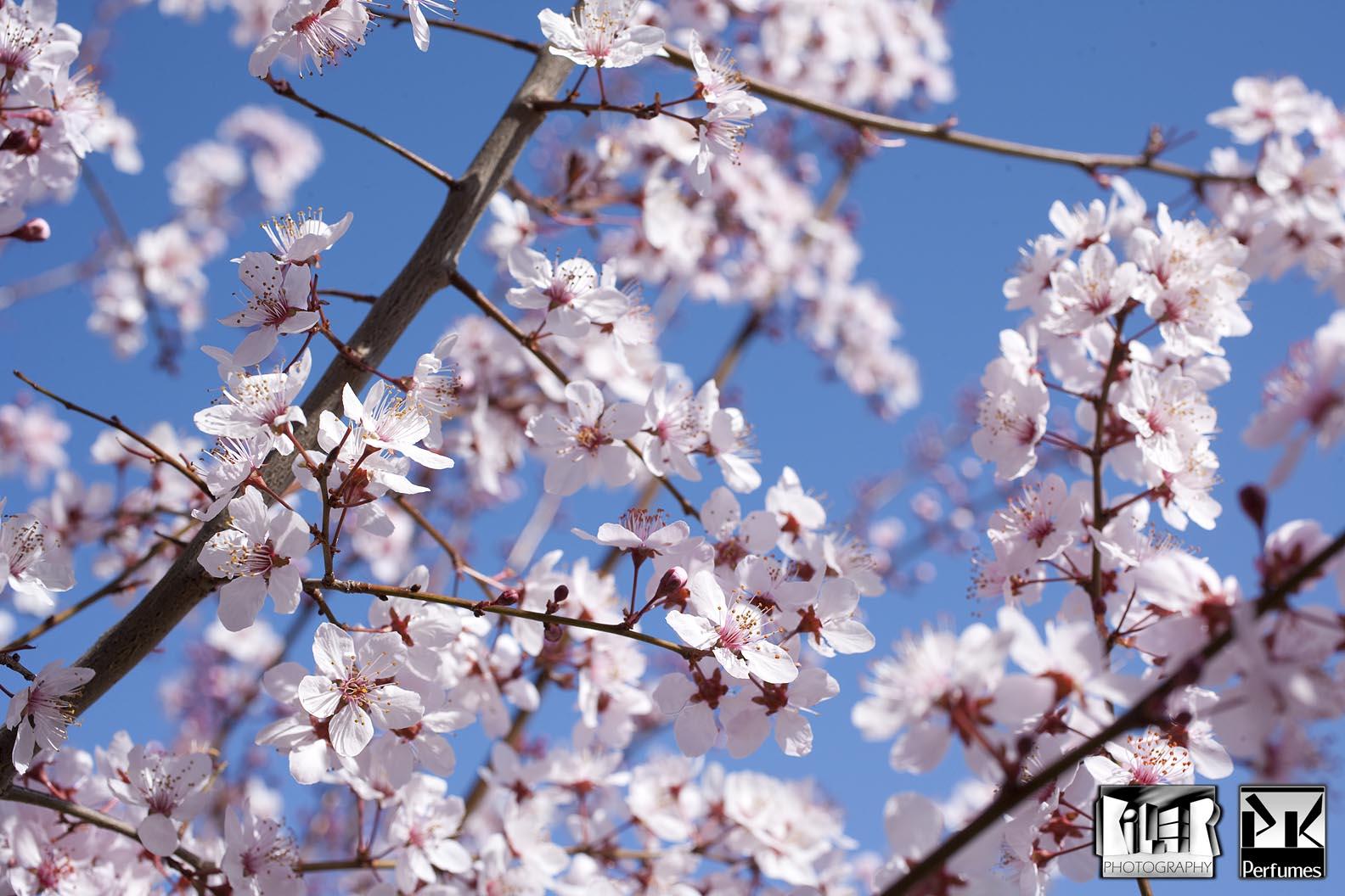 Plum Blossoms 1 - PK Perfumes