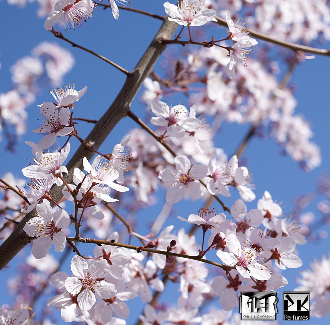 Plum Blossoms 2 - PK Perfumes
