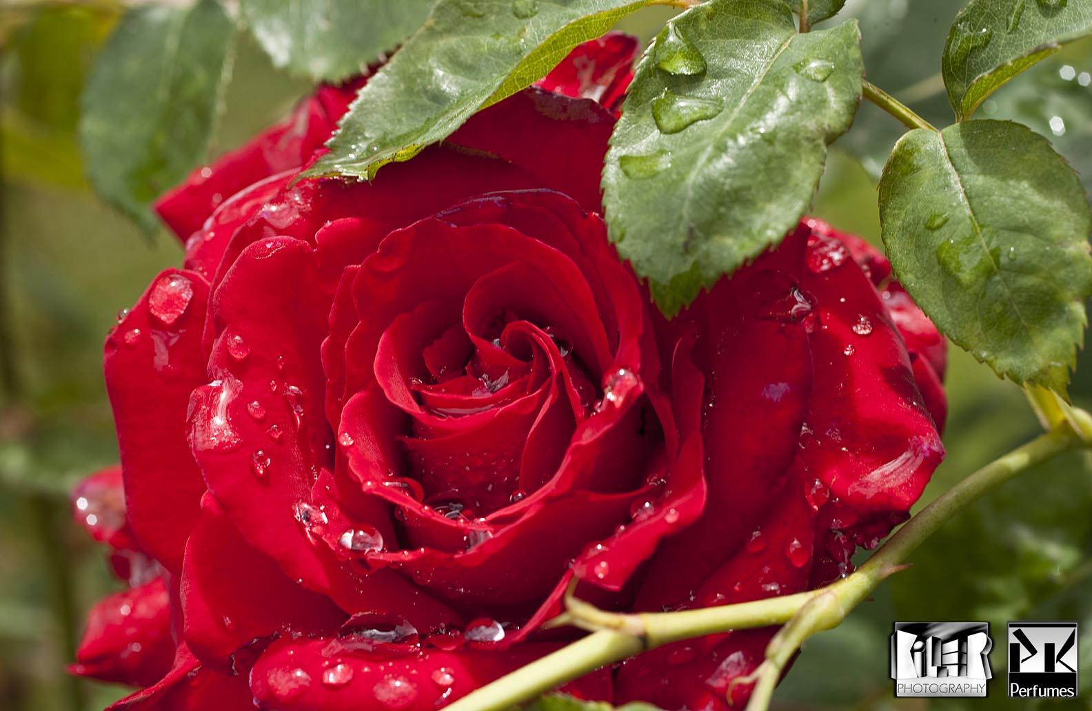 Rain Soaked Rose 3 - PK Perfumes