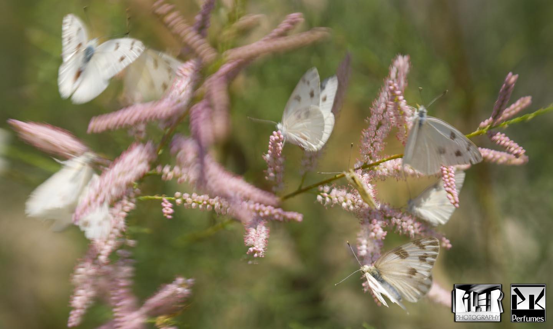 White Butterflies 5 - PK Perfumes
